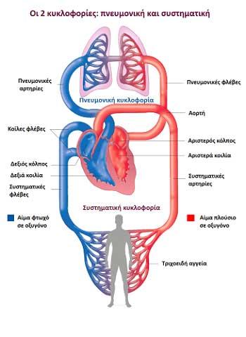 οι 2 κυκλοφορίες αίματος: πνευμονική και συστηματική